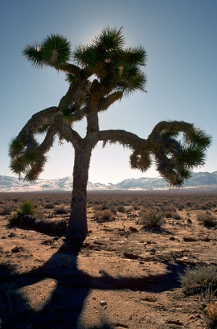 Photo of the Joshua Tree featured on the U2 Album by that name taken in 1988