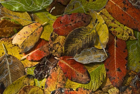 Arbutus Leaves