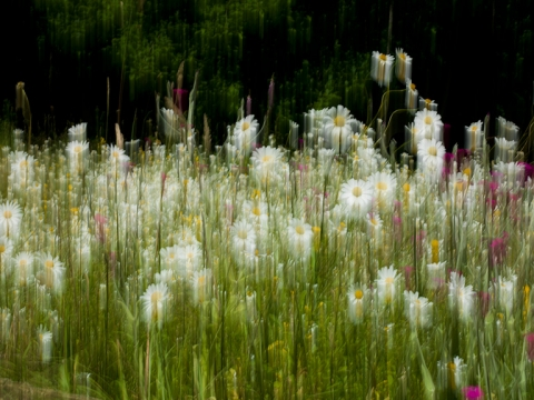 "Image of mixed daisies and flowers in motion entitled ""To the End of Love"""
